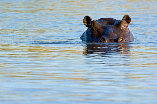 Stock Photo: 4141-49342 hippopotamus (hippopotamus amphibius) watches intently from its refuge in a waterhole in the linyanti swamp, botswana. date: 23.12.2008 ref: zb979_126612_0052 compulsory credit: nhpa/photoshot