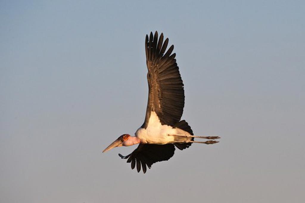 Stock Photo: 4141-49386 marabou stork (leptoptilos crumeniferus) in flight. okavango delta, botswana. august
