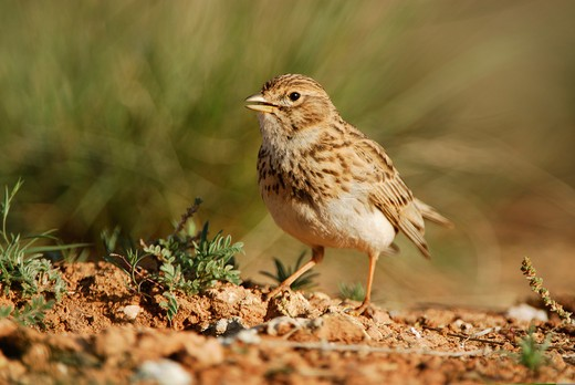 lesser short-toed lark (calandrella rufescens). belchite, ornithological reserve. ebro valley, spain. april  : Stock Photo