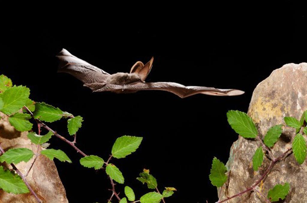 Stock Photo: 4141-49569 brown long-eared bat (plecotus auritus) in fligt. girona, catalonia. spain. august
