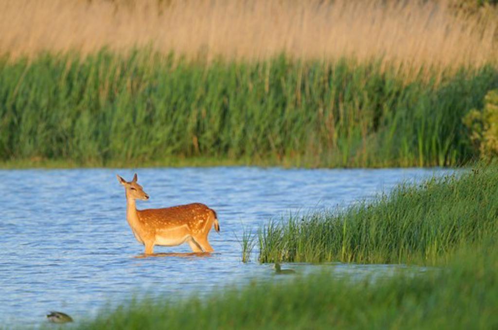 fallow deer (dama dama) in a marsh. aiguamolls de l'emporda natural park. girona, spain. may : Stock Photo
