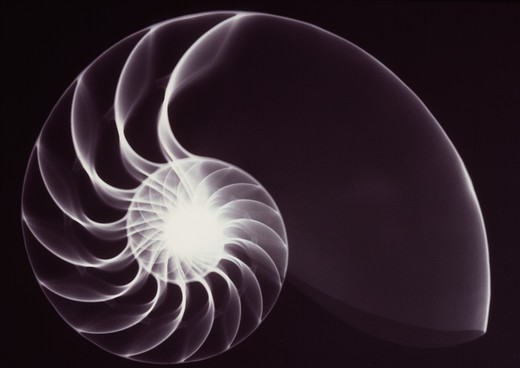 Stock Photo: 4141-49708 x-ray of shell (nautilus sp.) showing equiangular spiral.