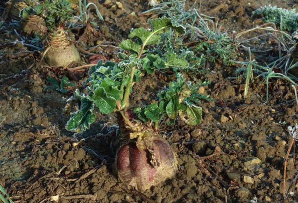 swede, brassica napus var.napobrassica, oxfordshire, england  : Stock Photo