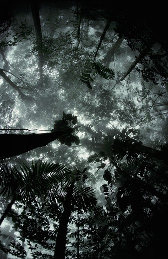 tropical rainforest, morning view upwards into misty canopy., venezuela, south america  : Stock Photo