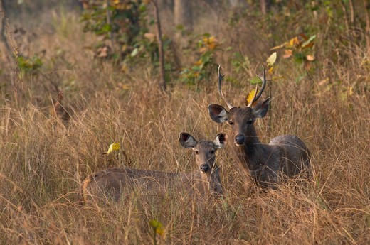 sambar deer, cervus unicolor; kanha national park, india : Stock Photo