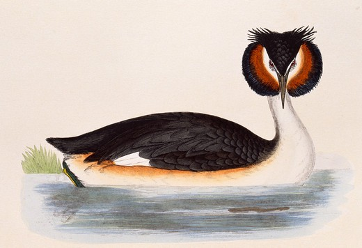 great crested grebe, podiceps cristatus, in breeding plumage, bookplate published in 1866  : Stock Photo