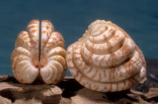 Stock Photo: 4141-50441 imperial venus clam chione latilirata southeast usa to brazil offshore to 40 meters common