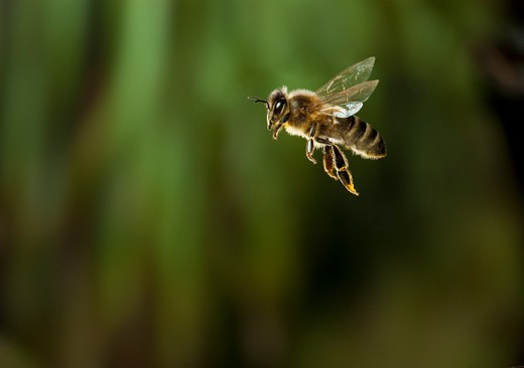honeybee in flight (apis mellifera)  : Stock Photo