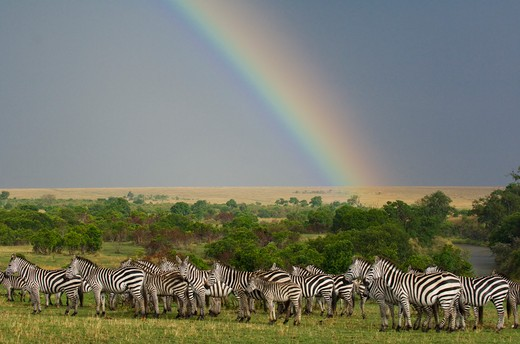 Stock Photo: 4141-5079 rainbow and common zebras, equus burchelli; masai mara, kenya