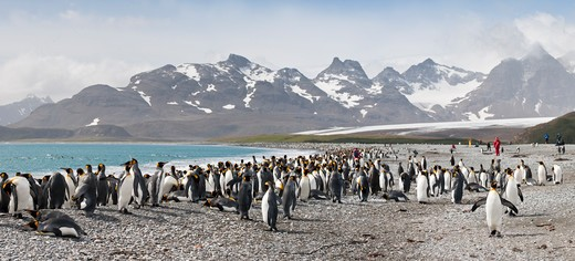Stock Photo: 4141-50921 King Penguins (Aptenodytes Patagonicus) On The Beach With Tourists In The Background At Salisbury Plain, South Georgia, South Atlantic. (Digitally Stitched Image)
