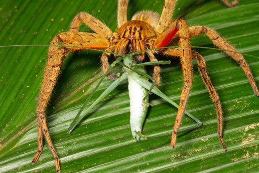 Wandering Spider (Cupiennius Getazi) Feeding On Katydid In Rainforest, La Selva Biological Station, Costa Rica. August . : Stock Photo