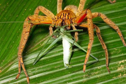 Stock Photo: 4141-51025 Wandering Spider (Cupiennius Getazi) Feeding On Katydid In Rainforest, La Selva Biological Station, Costa Rica. August .