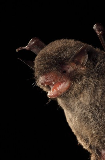 Stock Photo: 4141-51034 Black Myotis Bat (Myotis Nigricans), La Selva Biological Station, Costa Rica. August .