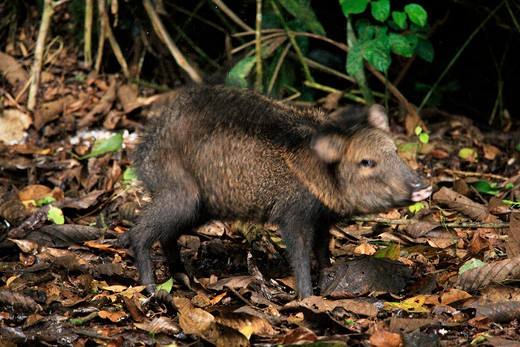 Stock Photo: 4141-51043 Collared Peccary (Tayassu Tajacu) Shaking Itself Dry In Rainforest. La Selva Biological Station, Costa Rica. August .
