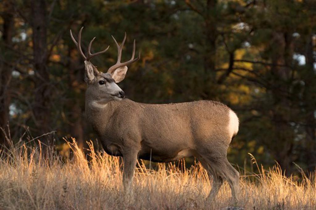 Mule Deer Buck Standing In Tall Grass With Sunset Light. (Odocoileus Hemionus). Custer State Park. South Dakota. : Stock Photo