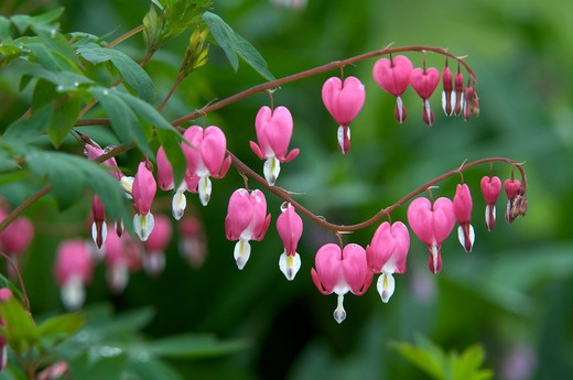 Stock Photo: 4141-51244 Bleeding Heart (D. Spectabilis) Flower.  Thunder Bay, Ontario, Canada