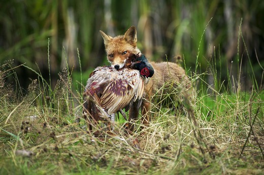 Red Fox, Vulpes Vulpes, Adult Killing A Common Pheasant Phasianus Colchicus, Normandy : Stock Photo
