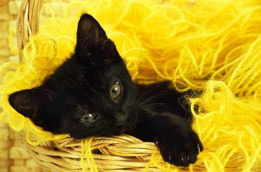 Black Domestic Cat, Kitten Laying Down In Wool : Stock Photo