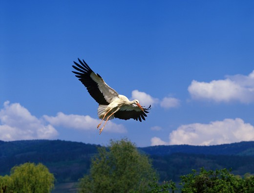Stock Photo: 4141-51332 White Stork, Ciconia Ciconia, Adult In Flight, Alsace In France