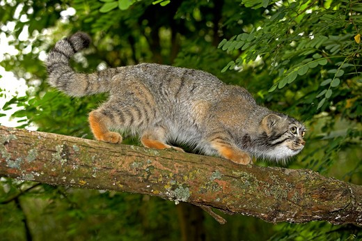 Stock Photo: 4141-51369 Manul Or Pallas'S Cat, Otocolobus Manul, Adult Walking On Branch