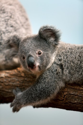 Koala, Phascolarctos Cinereus, Baby Laying On Branch : Stock Photo