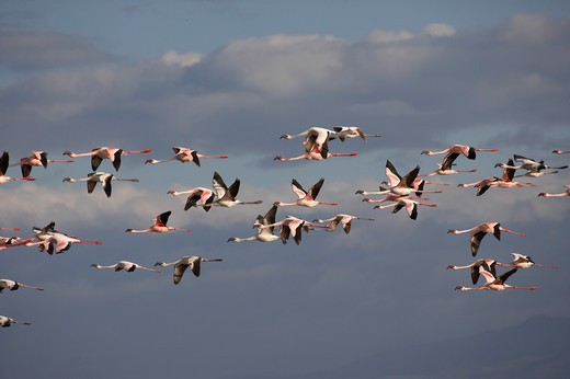 Stock Photo: 4141-51456 Lesser Flamingo, Phoenicopterus Minor, Adults In Flight, Colony At Nakuru Lake In Kenya
