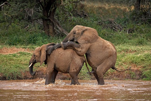 Stock Photo: 4141-51479 African Elephant, Loxodonta Africana, Pair Mating In River, Samburu Park In Kenya