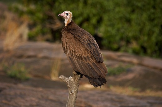 Stock Photo: 4141-51503 Hooded Vulture, Necrosyrtes Monachus, Adult Standing On Branch, Masai Mara Park In Kenya