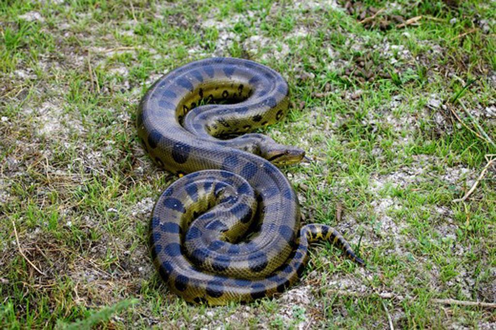 Green Anaconda, Eunectes Murinus, Adult Standing On Grass, Los Lianos In Venezuela : Stock Photo