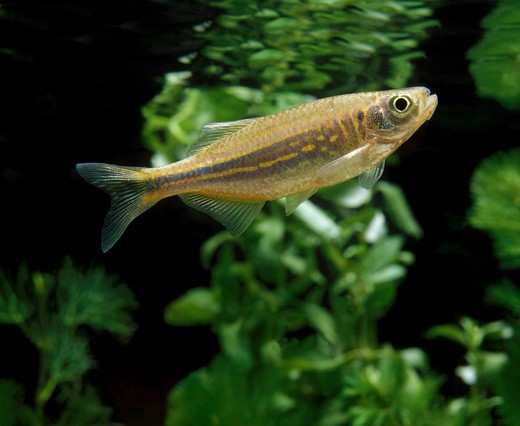 Giant Danio Or Malabar Danio, Danio Aequipinnatus, Aquarium Fish : Stock Photo