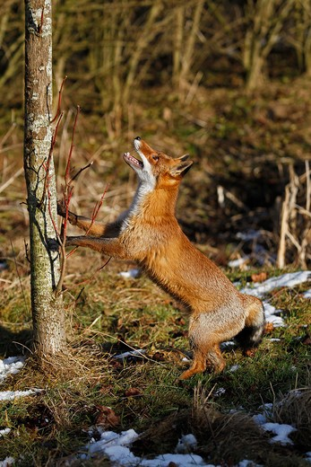 Stock Photo: 4141-51830 Red Fox, Vulpes Vulpes, Adult Hunting Bird, Standing On Hind Legs, Normandy