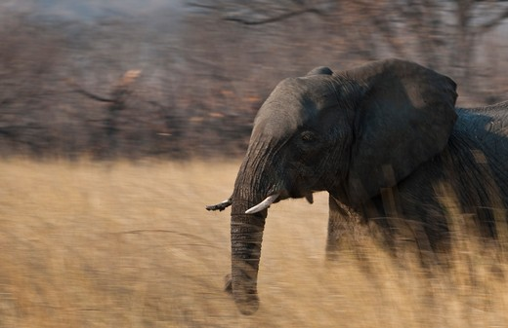 Stock Photo: 4141-52169 African Elephant, Loxodonta Africana, Hwange, Zimbabwe