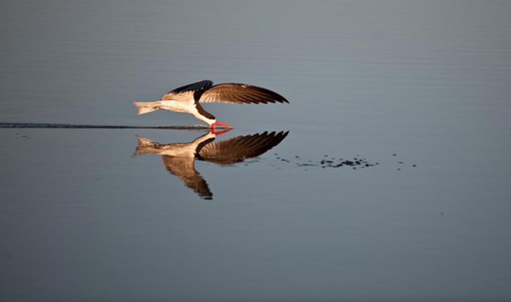 Stock Photo: 4141-52188 African Skimmer, Rynchops Flavirostris, Hunting, Chobe, Botswana.