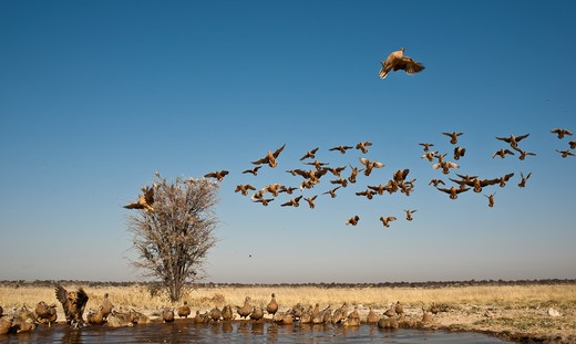 Stock Photo: 4141-52203 Burchell'S Sandgrouse, Pterocles Burchelli, Flying Into Waterhole To Drink. Mabuasehube Game Res. Botswana