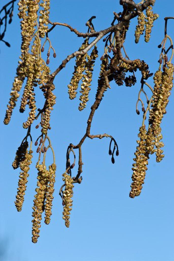Alder (Catkins)  Alnus Glutinosa  England: Surrey, Beddington Park, March : Stock Photo