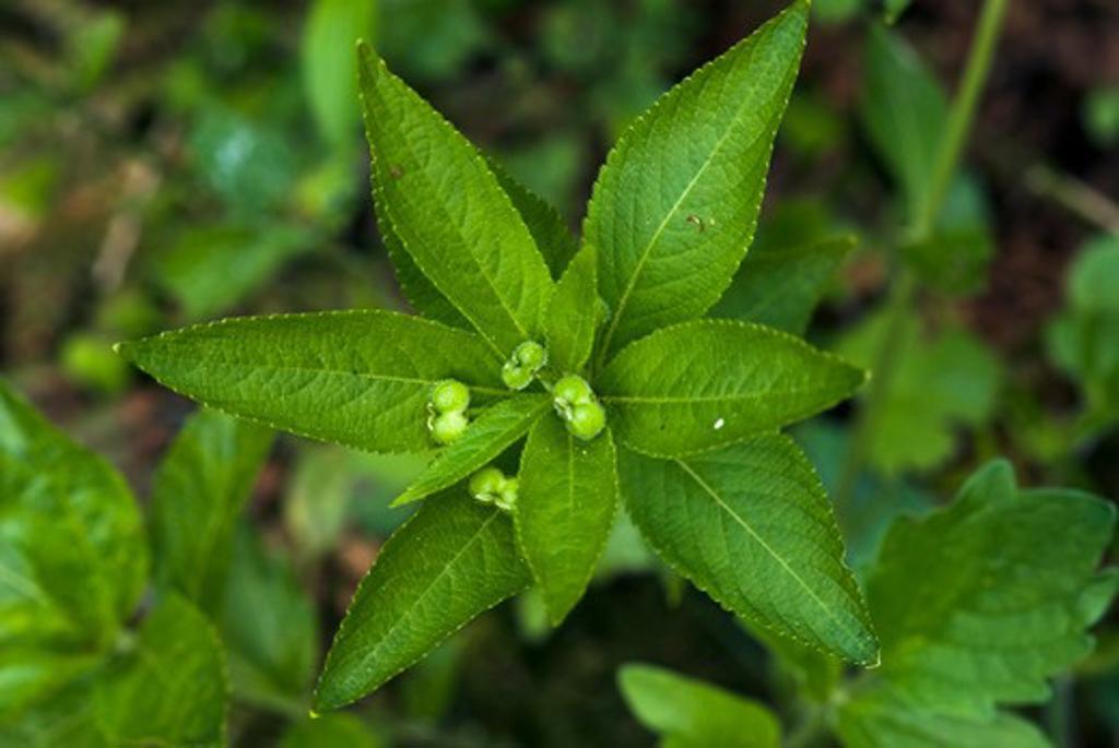 Dog'S Mercury (Female Plant With Fruit)  Mercurialis Perennis  England: Surrey, Thursley, May : Stock Photo