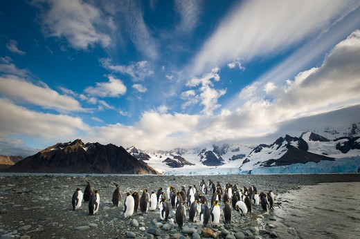king penguins, aptenodytes patagonicus, and the weddell glacier; gold harbor, south georgia island. : Stock Photo
