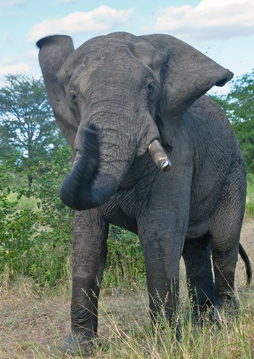 Stock Photo: 4141-52532 African Elephant Bull, Loxodonta Africana, Demonstrating - Head Shake, Luangwa Valley Zambia.