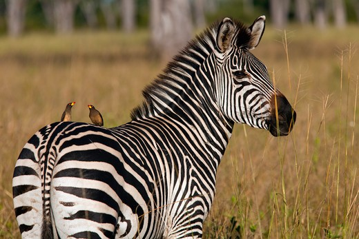 Zebra With Oxpeckers, Equus Burchelli, Luangwa Valley Zambia : Stock Photo