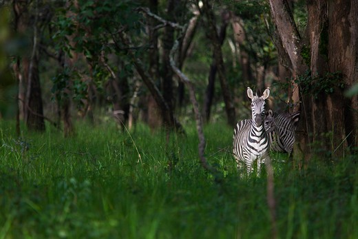 Stock Photo: 4141-52551 Zebra In Woodland, Equus Burchelli, Luangwa Valley Zambia
