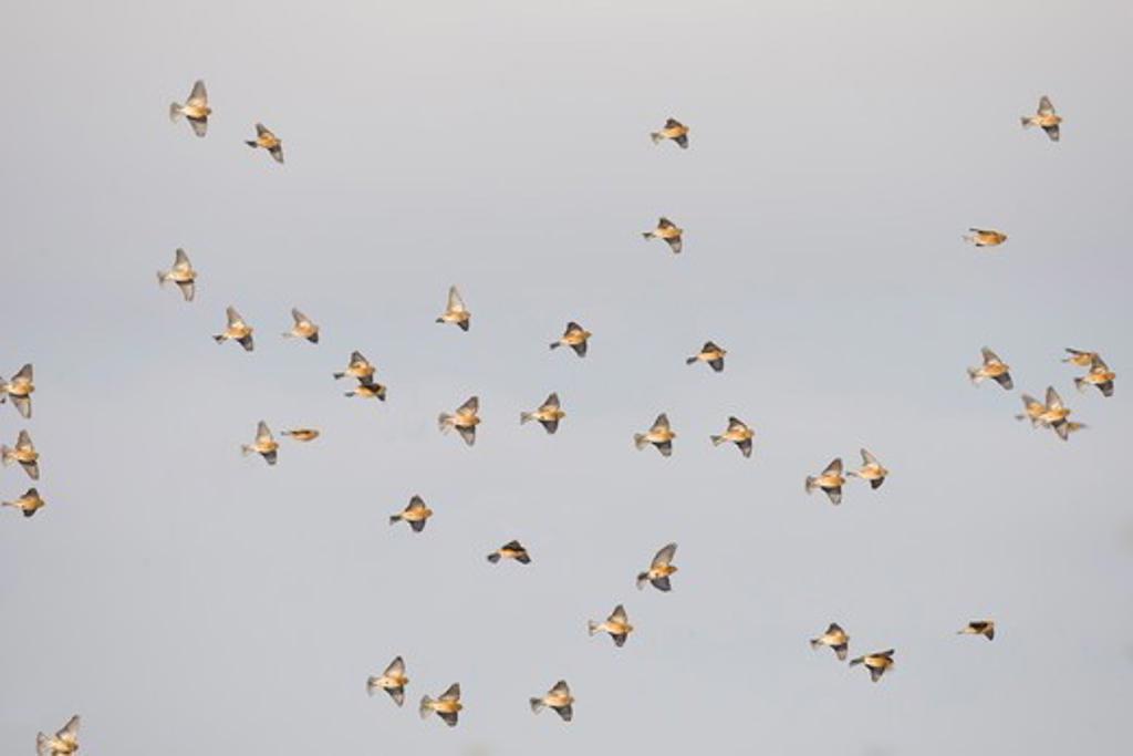Stock Photo: 4141-52587 Linnet, Carduelis Cannabina, Winter Flock In Flight, Norfolk Uk
