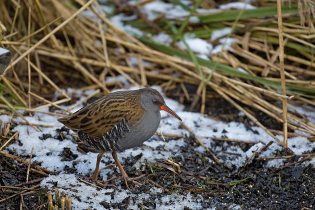 Stock Photo: 4141-52605 Water Rail, Rallus Aquaticus, Walking In Snow, Winter, Norfolk Uk