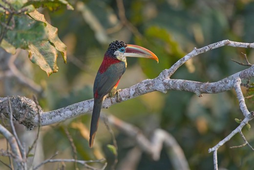 Stock Photo: 4141-52615 Curl-Crested Aracari, Pteroglossus Beauharnaesii, Perched, Amazon Rain Forest, Peru
