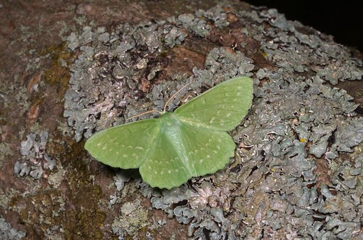 Stock Photo: 4141-52619 Large Emerald, Geometra Papilionaria, At Rest On Lichen, Norfolk Uk