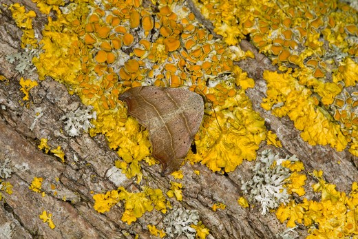 Beautiful Hook-Tip, Laspeyria Flexula, At Rest On Lichen, Summer, Norfolk Uk : Stock Photo