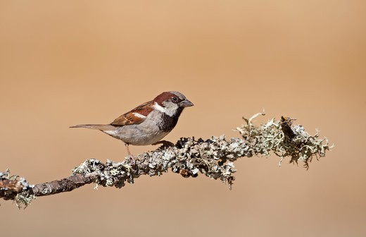 Stock Photo: 4141-52692 House Sparrow, Passer Domesticus, Male Perched On Twig, N Spain