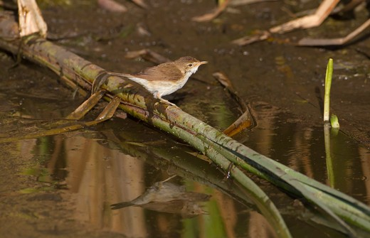Stock Photo: 4141-52705 Reed Warbler, Acrocephalus Scirpaceus, Drinking, N.Spain