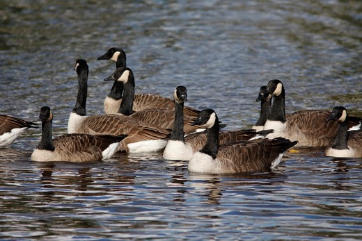 Stock Photo: 4141-52751 Canada Geese (Branta Canadensis) Group On A River, East Lothian, Uk, October.