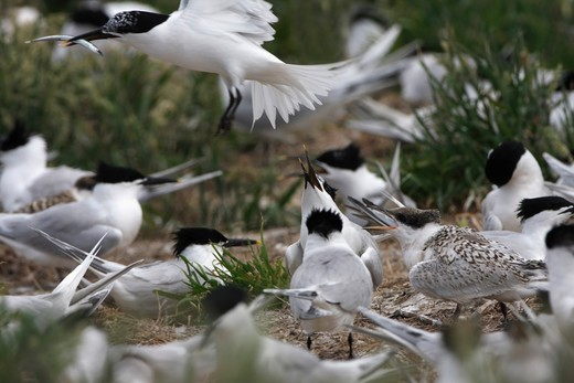 Stock Photo: 4141-52780 Sandwich Terns (Sterna Sandvicensis) Adult Returning To The Breeding Colony With A Sand Eel, Farne Islands, Northumberland, Uk, June.