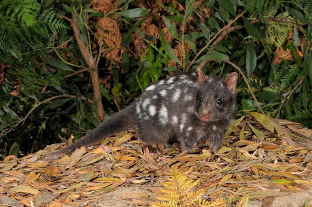 Stock Photo: 4141-52801 Eastern Quoll  Dasyurus Viverrinus  Dark Phase  Photographed In Tasmania
